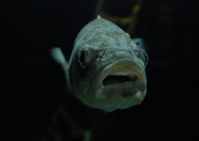 zeebaars aquarium fort kijkduin